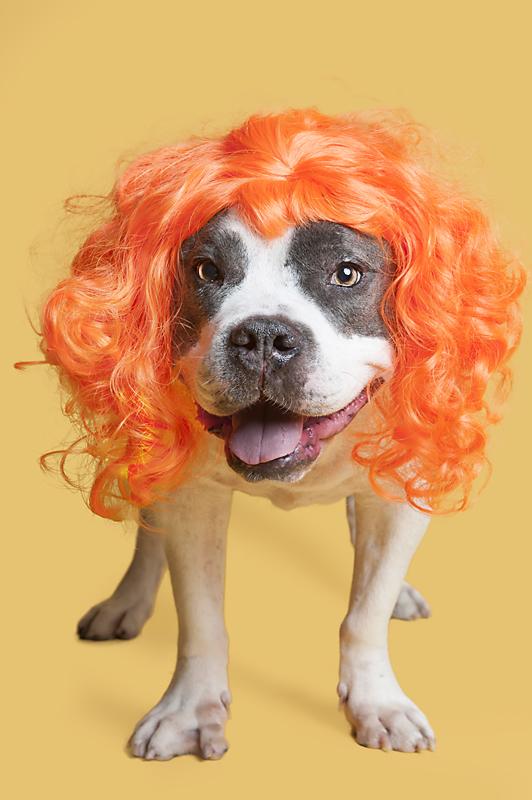 Wig-gles-dog-and-wig-white-pitbull.jpg