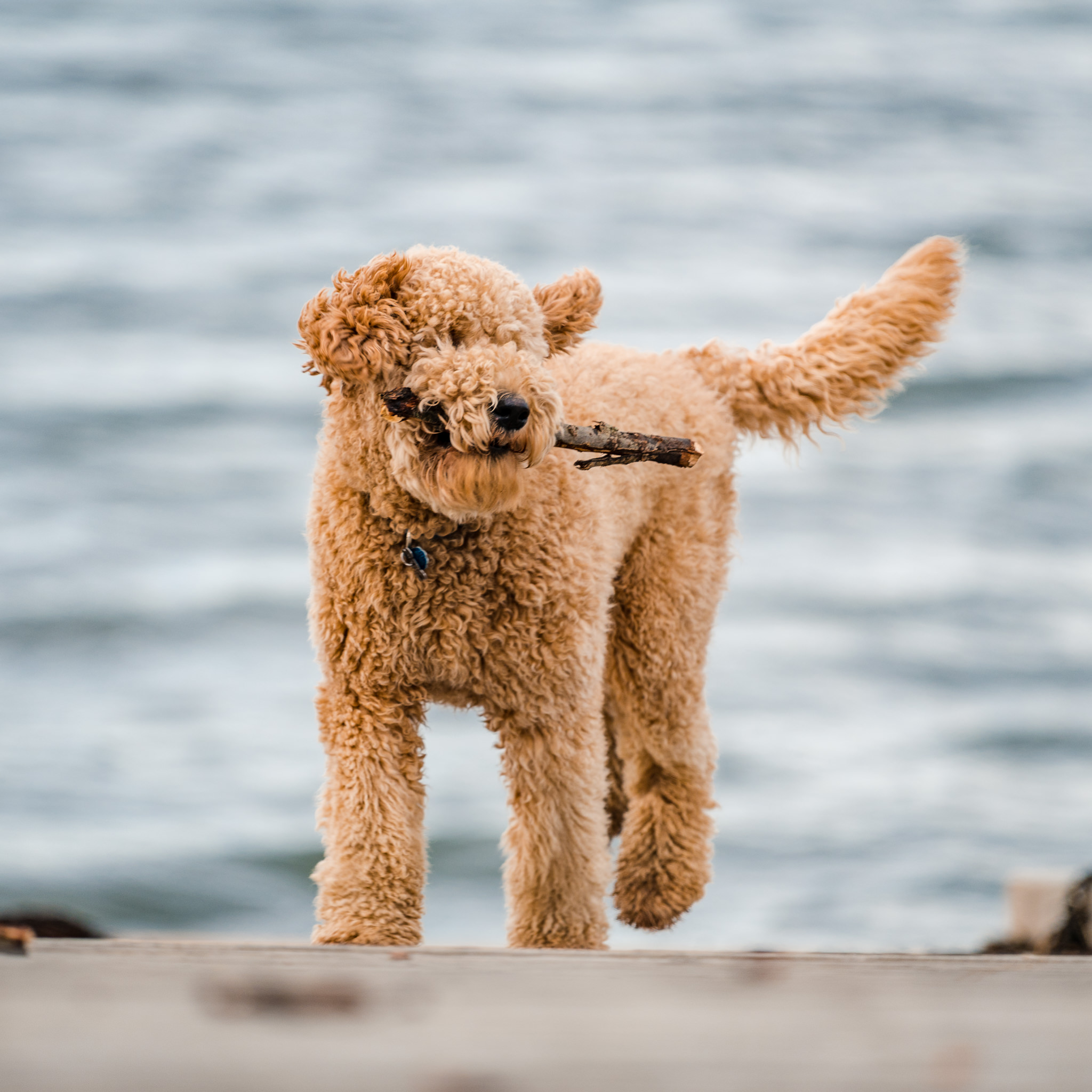 Maine dog portrait | Puppy on Eastern Promenade