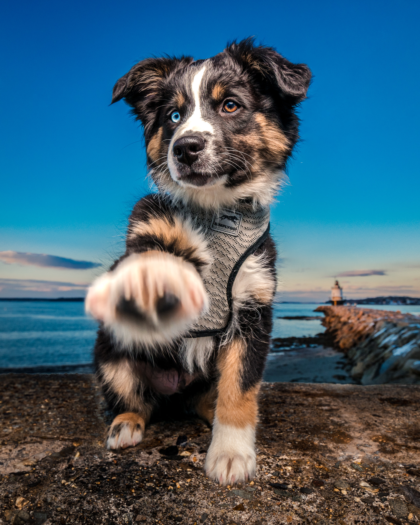 Main dog photographer | Miniature Australian Shepard