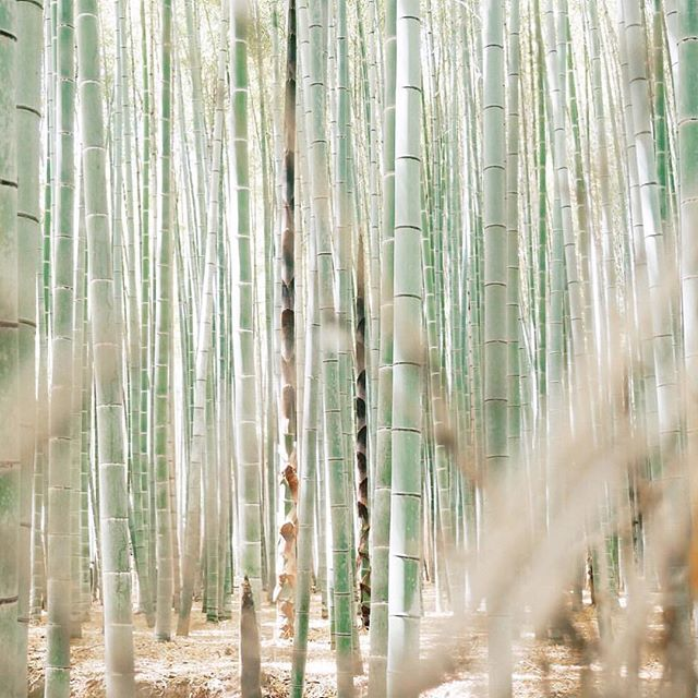 Bamboo forest color inspo / Japan