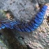 Pteraeolida ianthina