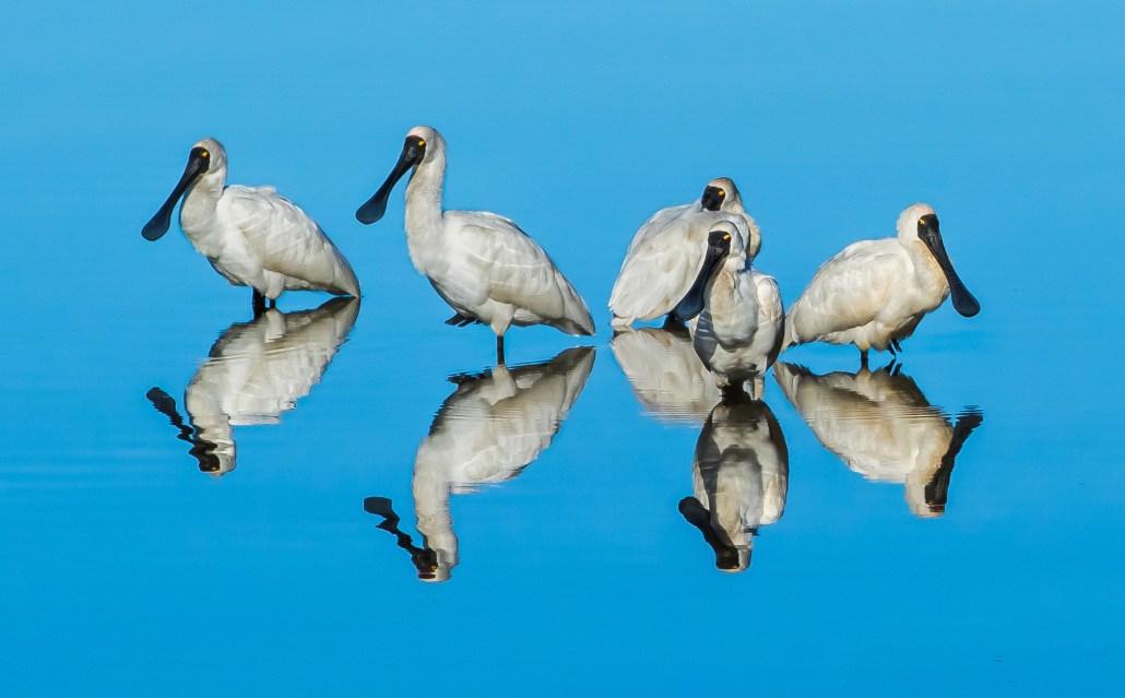 Reflecting Spoonbills