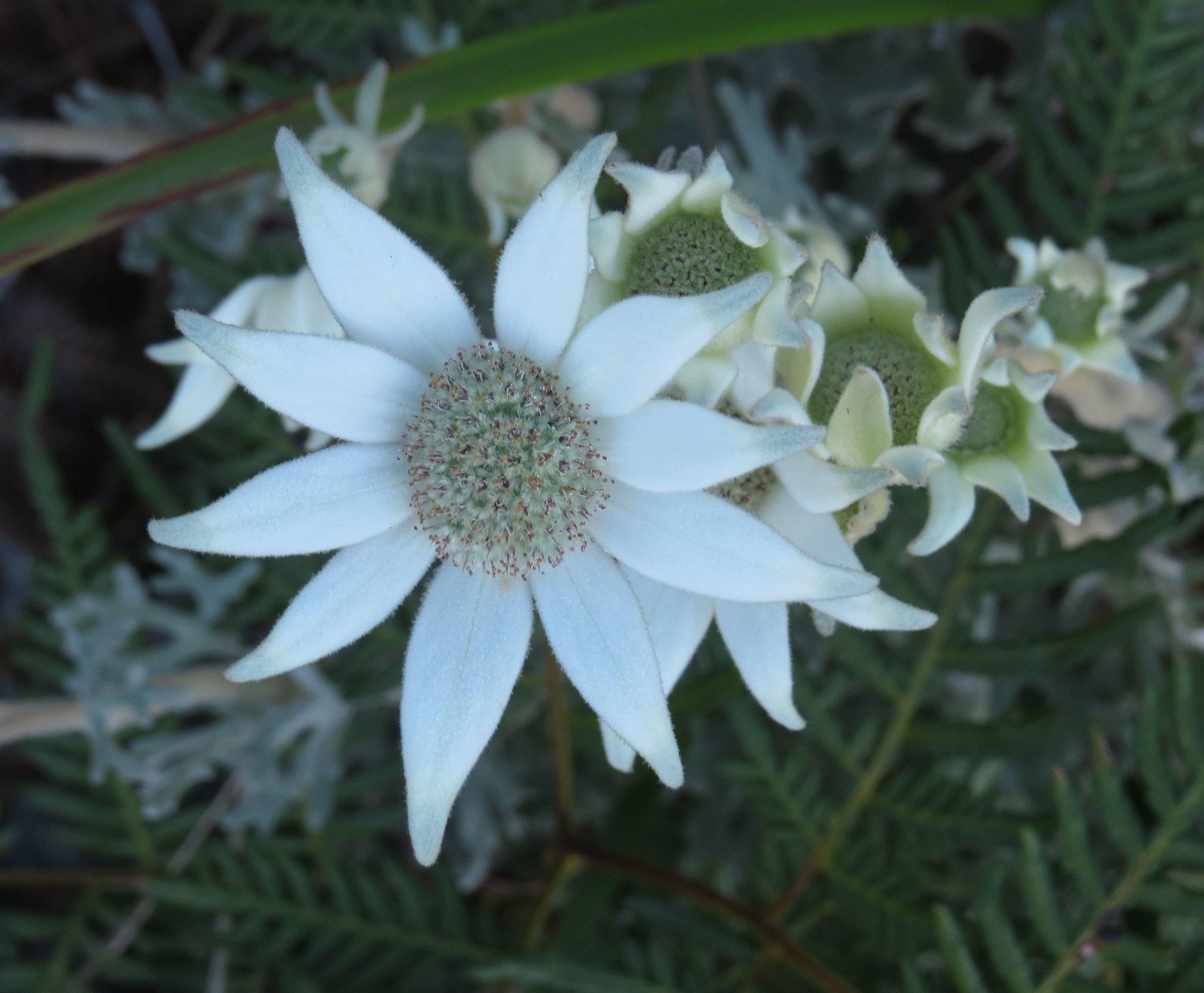 flannel-flowers1.jpg