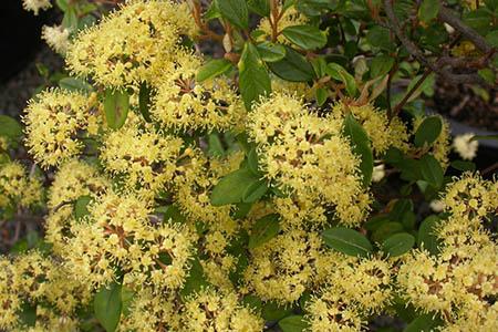 sos5-pomaderris-compact-blossom-lg.jpg