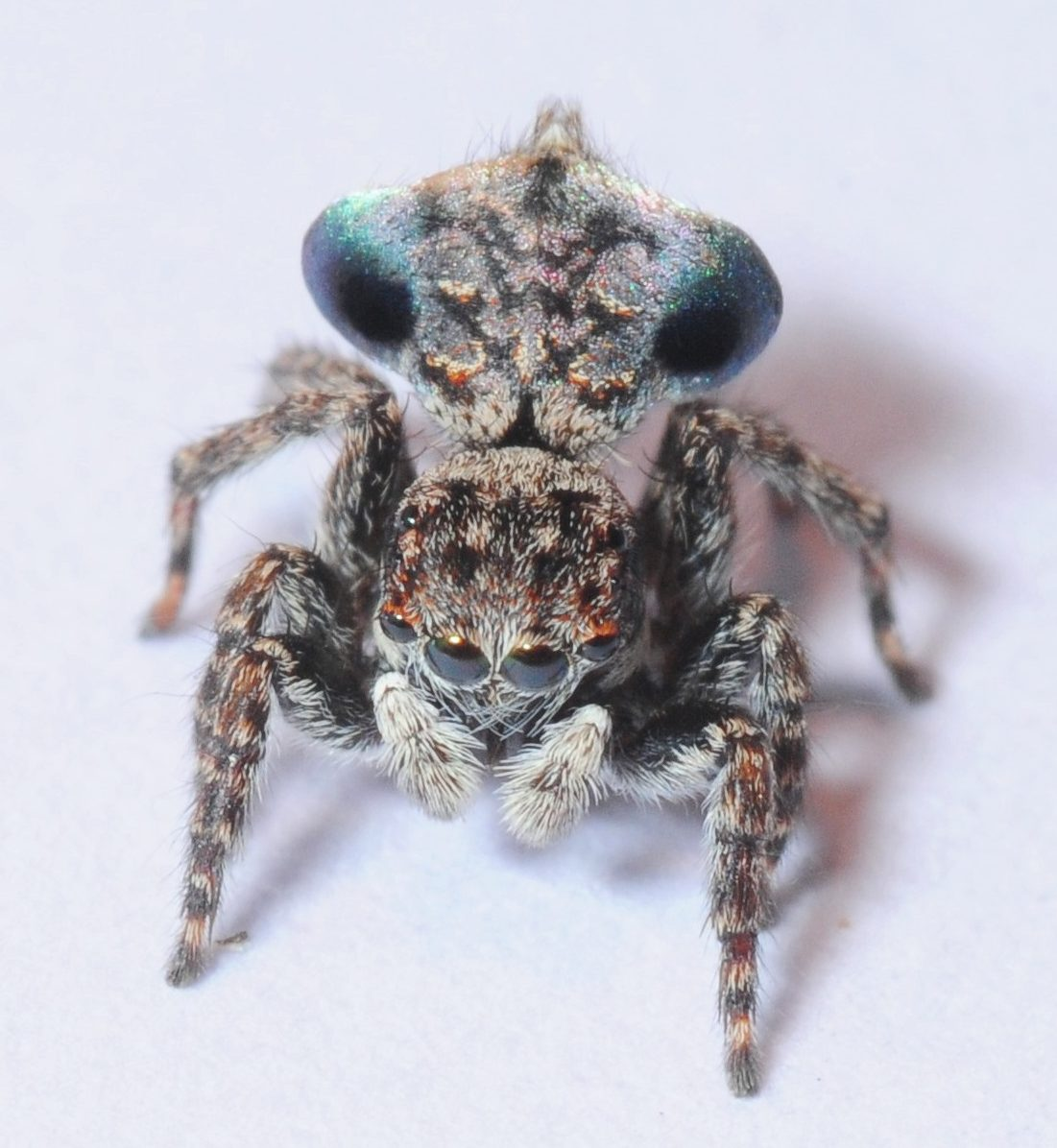 Maratus sapphirus,  a new species of Peacock Spider, found by Helen Ransom, named and photographed by Stuart Harris 2016 at the Atlas of Life/Four Winds BioBlitz