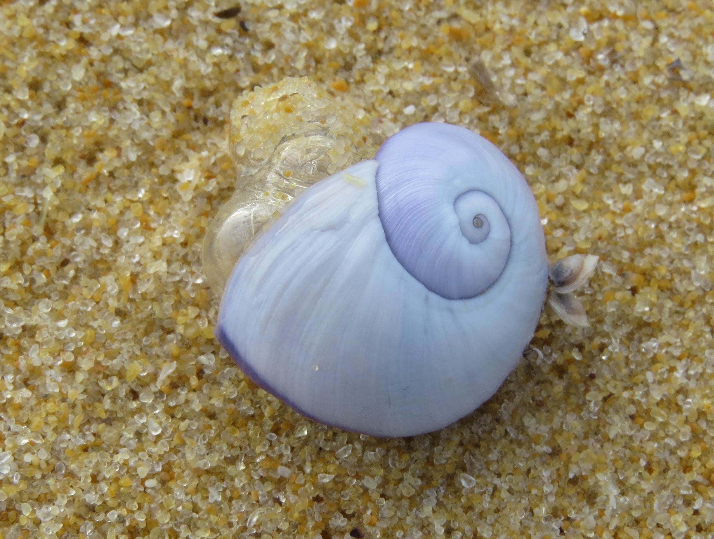 Janthina  (Violet Snail)