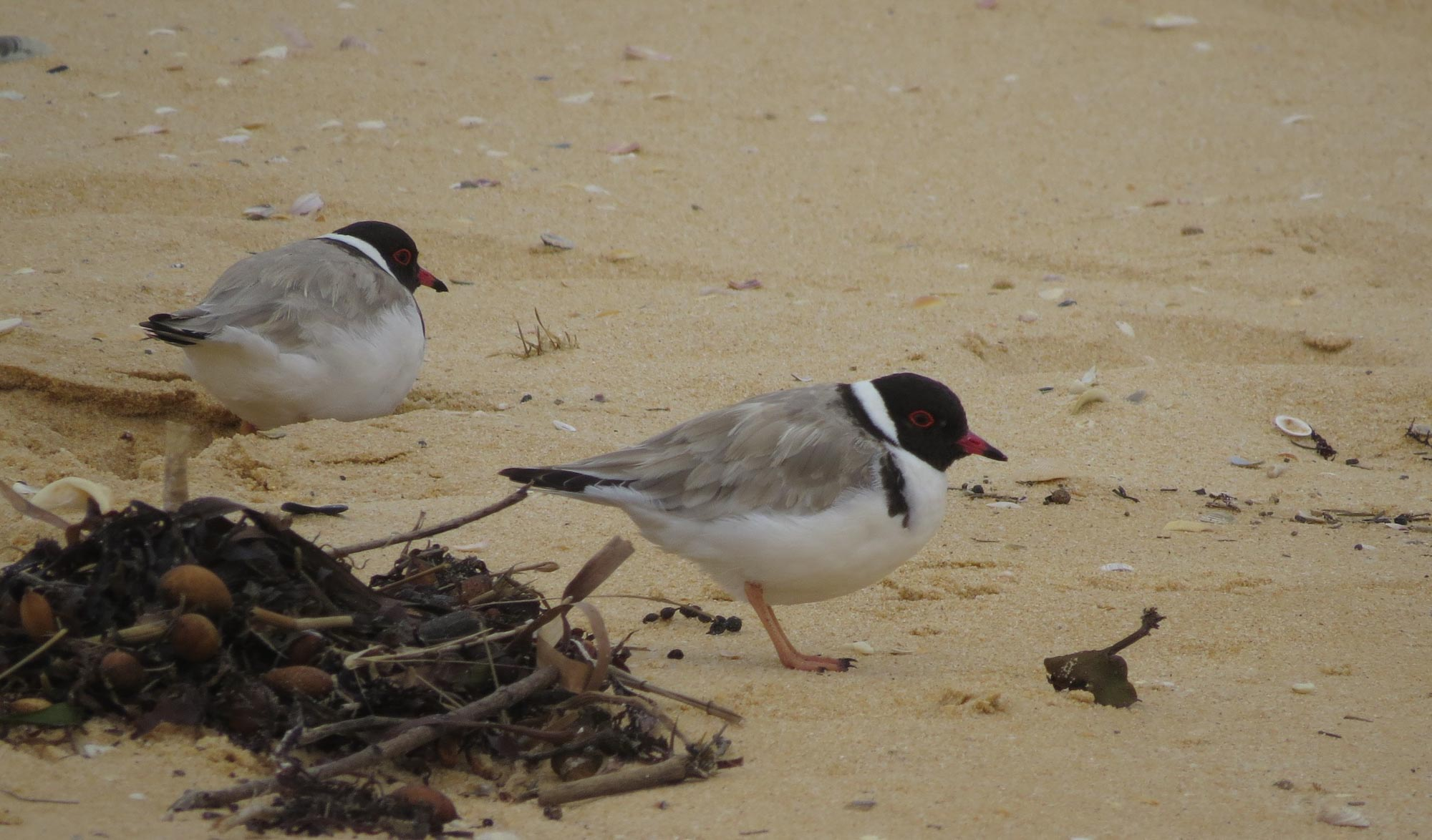 Hooded Plovers & dried Phyllospora