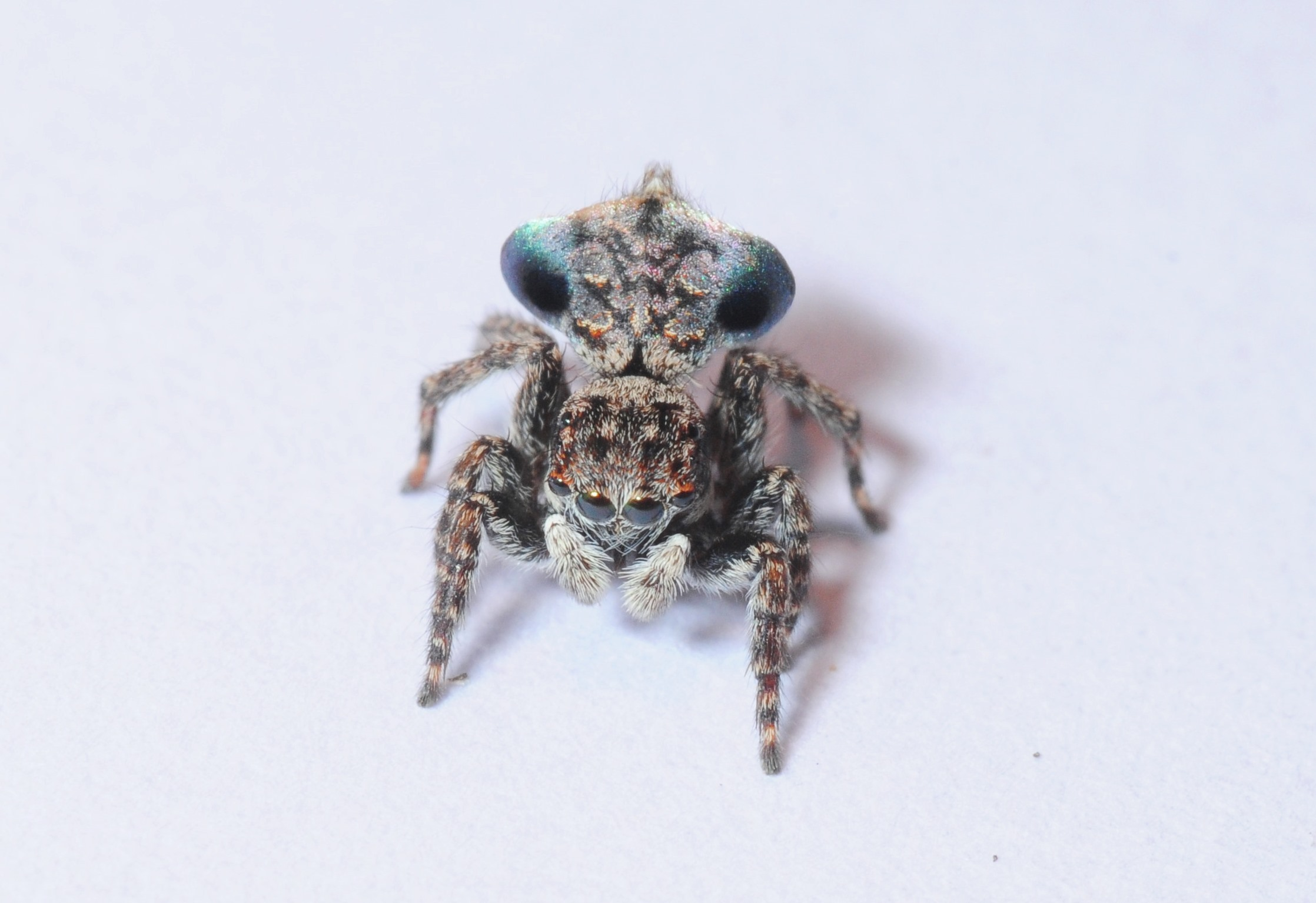 As yet unidentified Maratus (Peacock spider) found by Helen Ransom  Photo Stuart Harris