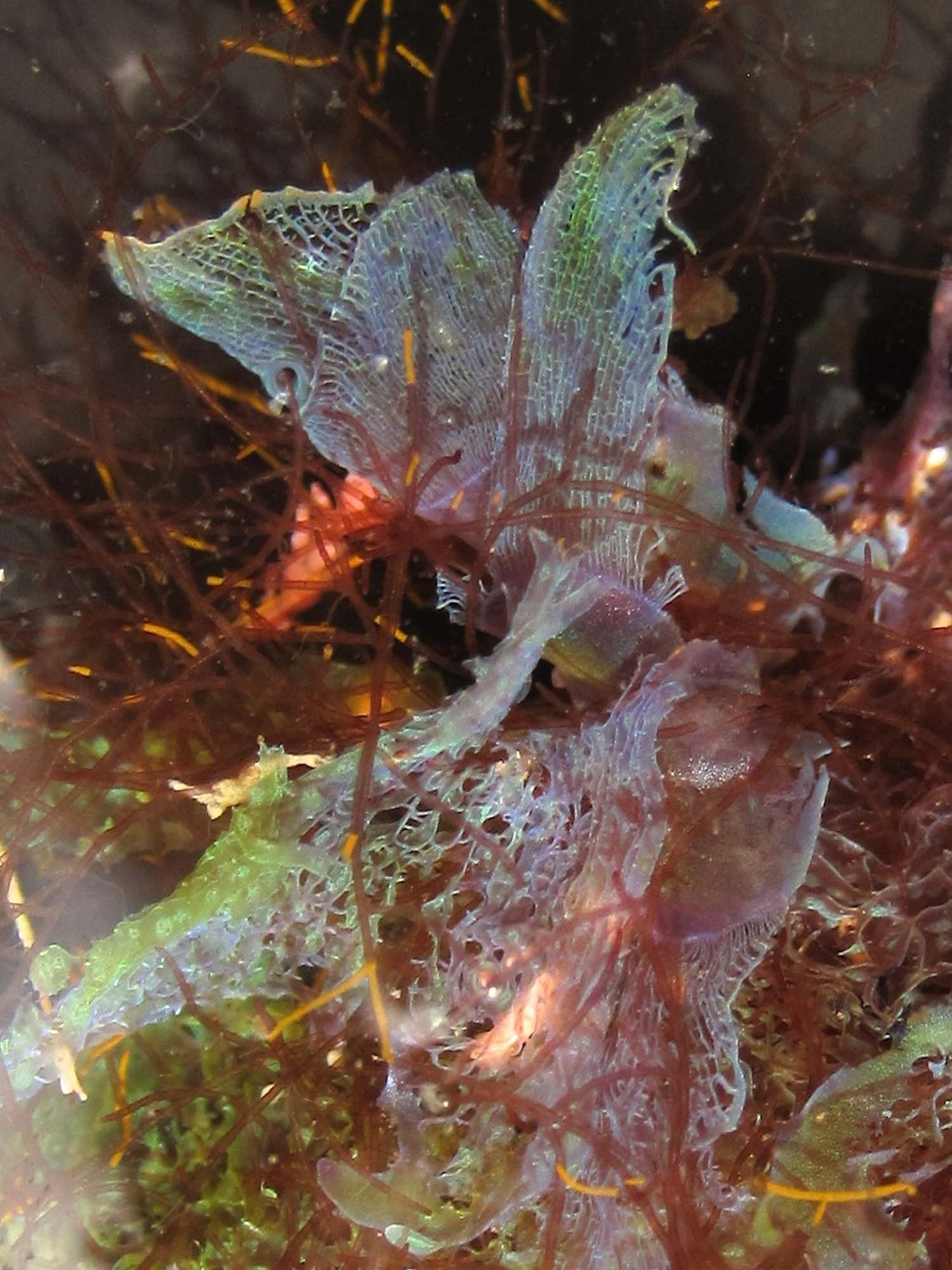 Figure 2.  Martensia sp. , Bittangabee Bay, Ben Boyd National Park. NSW