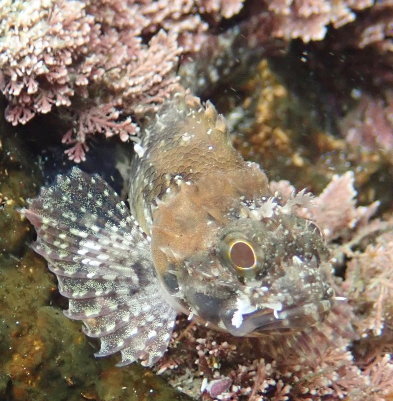 Fish (Scorpionfish?)