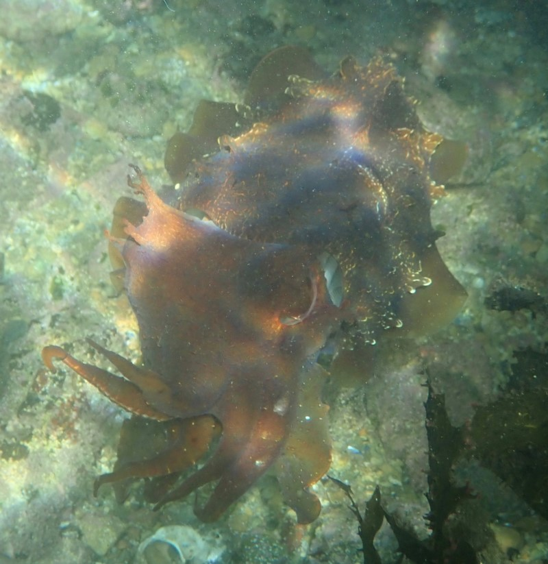Giant Cuttlefish