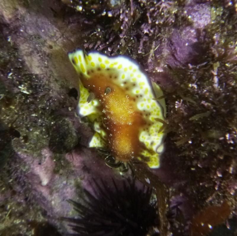 Goniobranchus collingwoodi