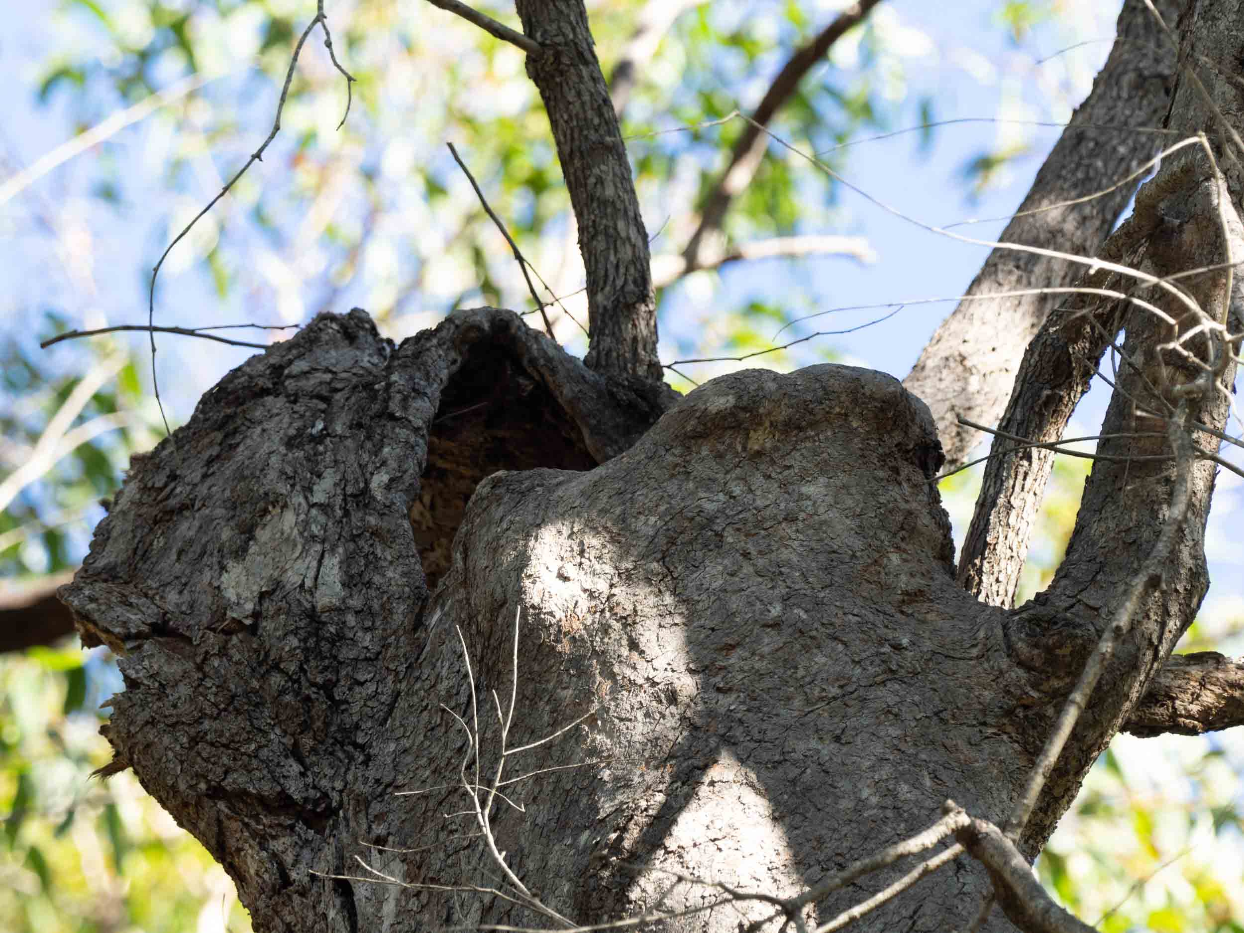 A: large, trunk spout in Angophora