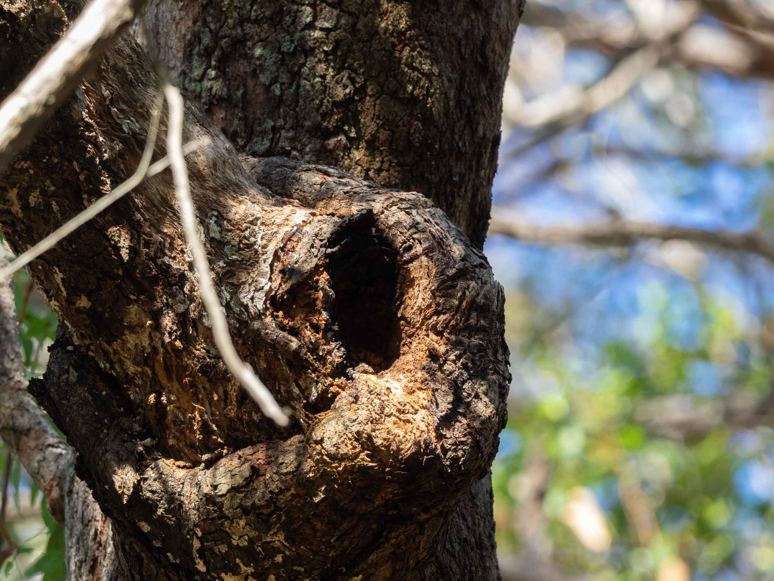 B: small spout in Angophora