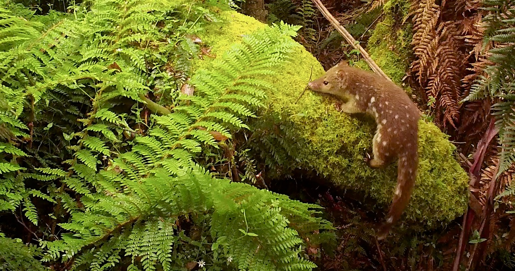 Young Tiger Quoll near Batemans Bay (post from 11 Dec, 2015)
