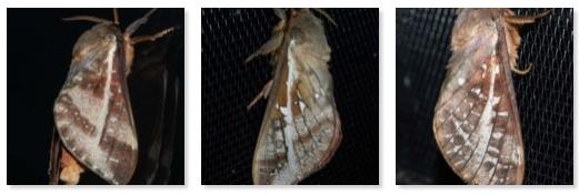 Oxycanus dirempta -(click image to view records)