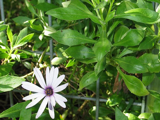 'African' or 'Cape' Daisy