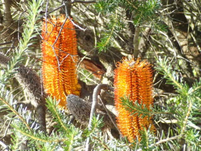 Heath Banksia