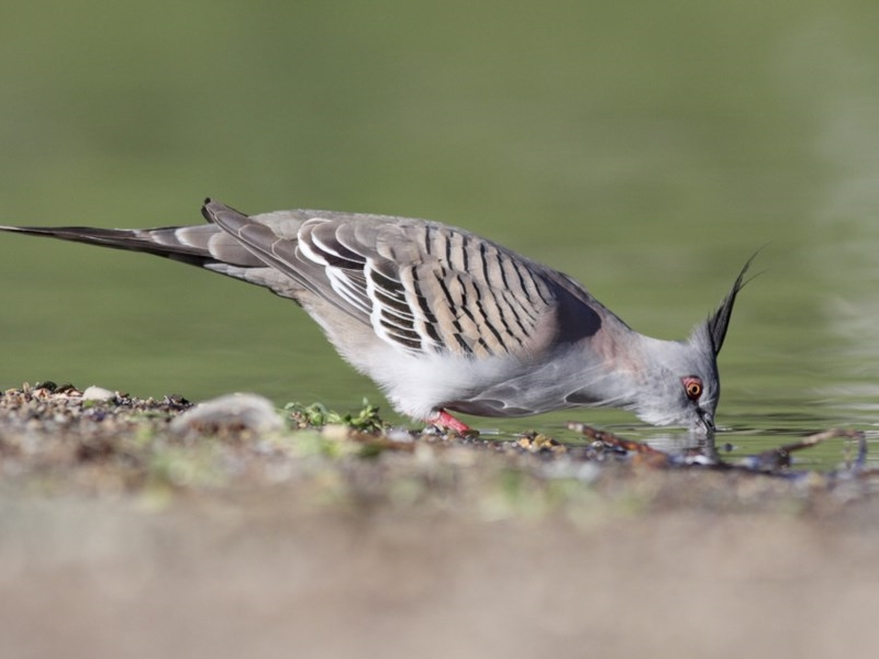 Crested Pigeon - adult