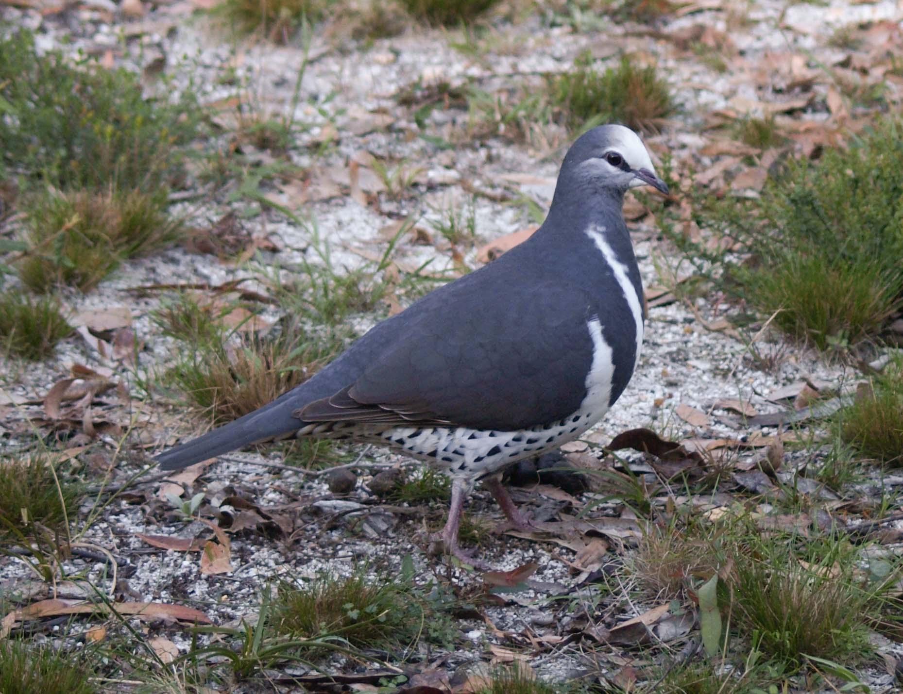 Wonga Pigeon - adult