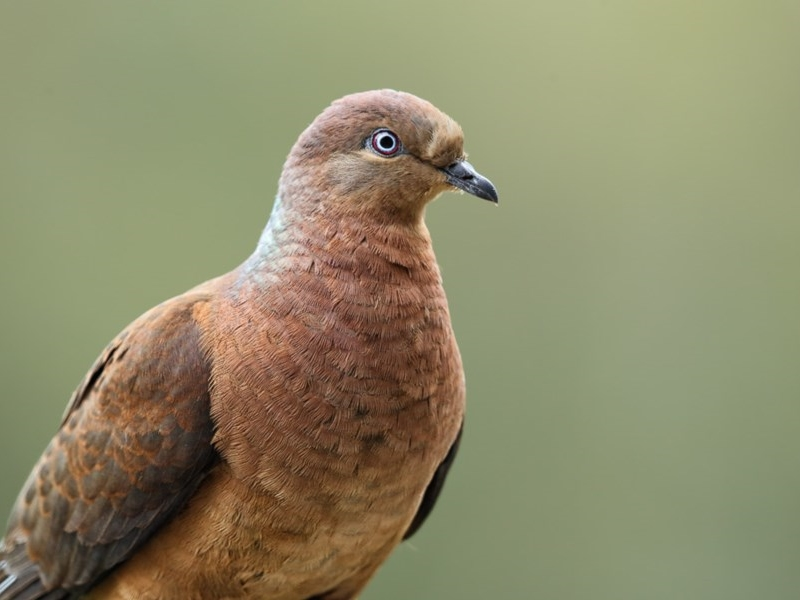 Brown Cuckoo-Dove - adult male