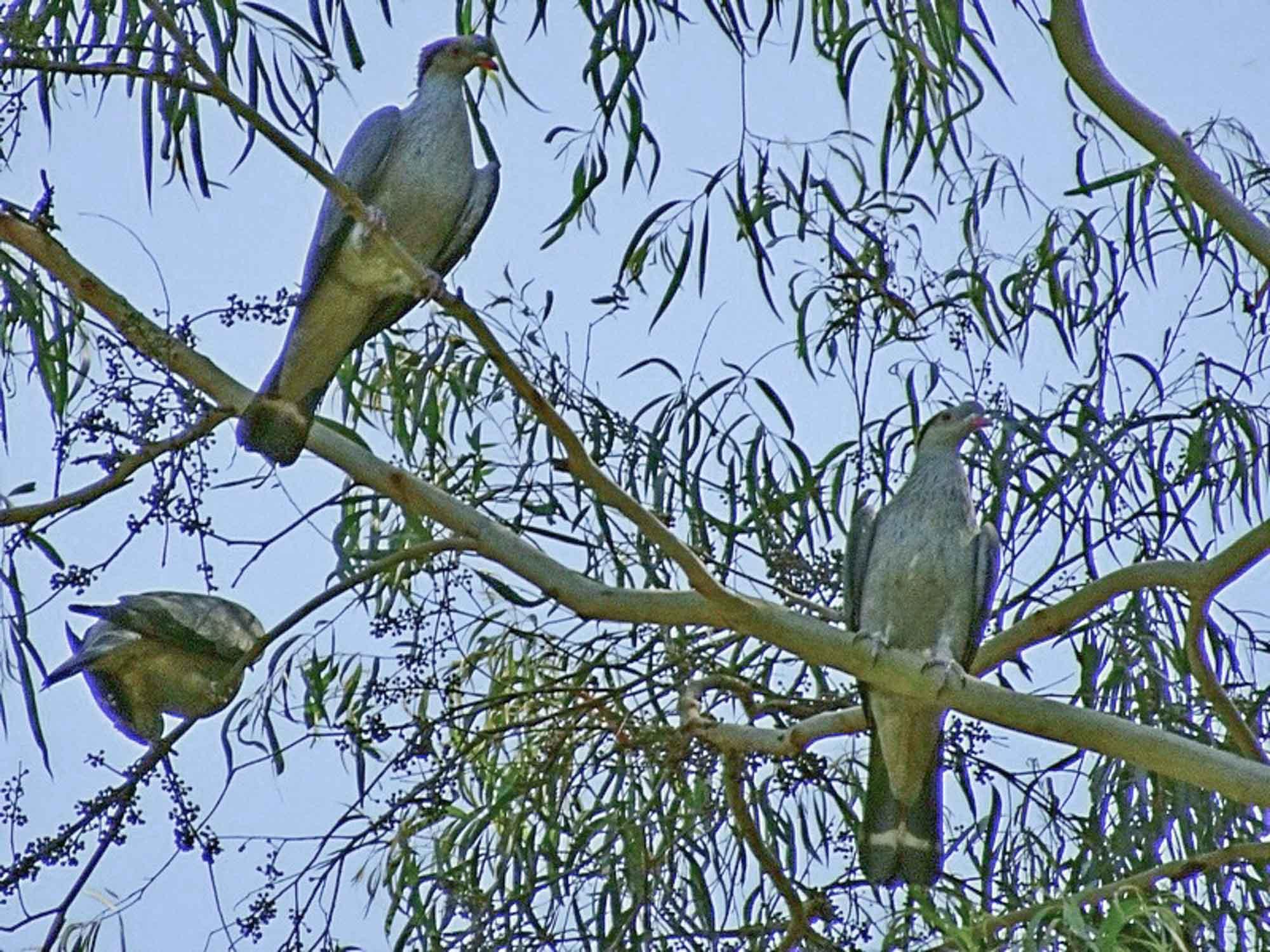 Topknot Pigeons