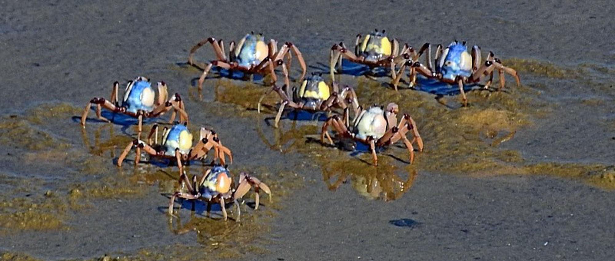 Mictyris longicarpus  (Soldier Crab), Bermagui. Recorded on  NatureMapr  by Max Campbell, April 2018.