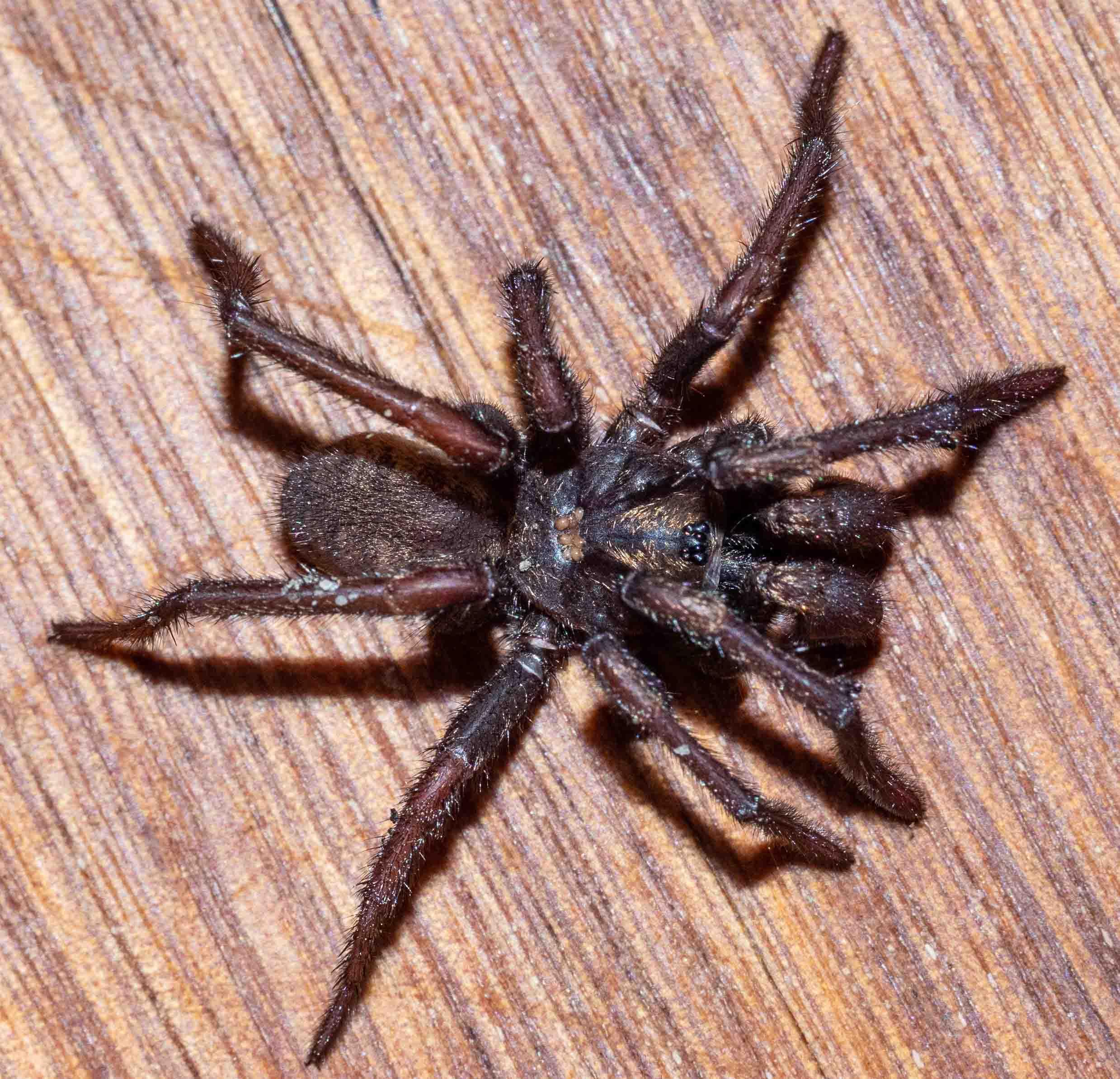 Spiny Trapdoor Spider