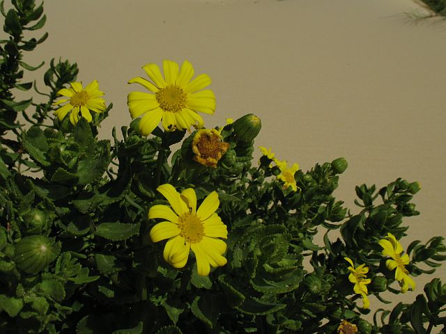 Senecio spathulatus   - a native species