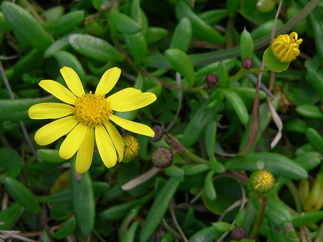 Senecio pinnatifolias   - a native species