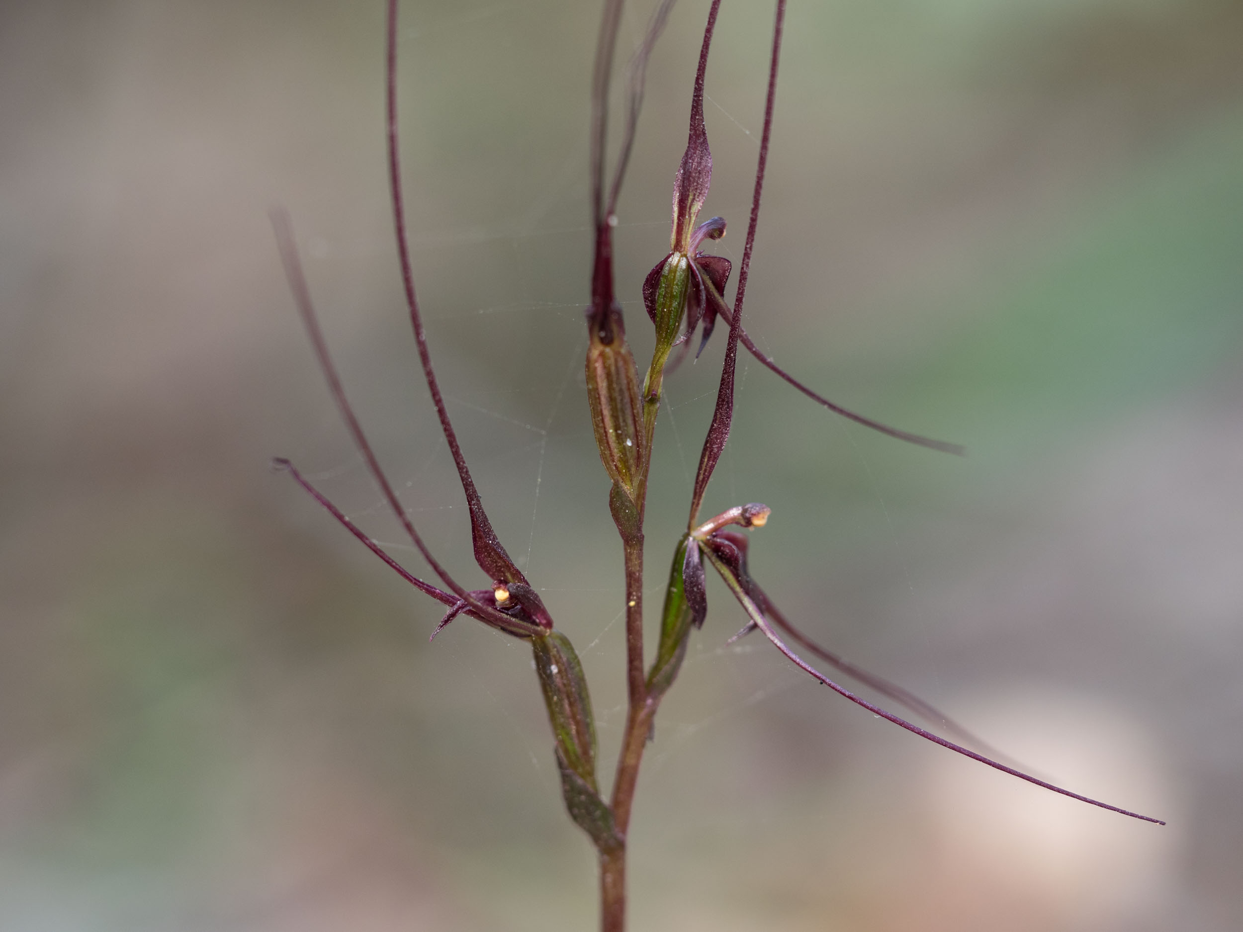 Mayfly Orchid