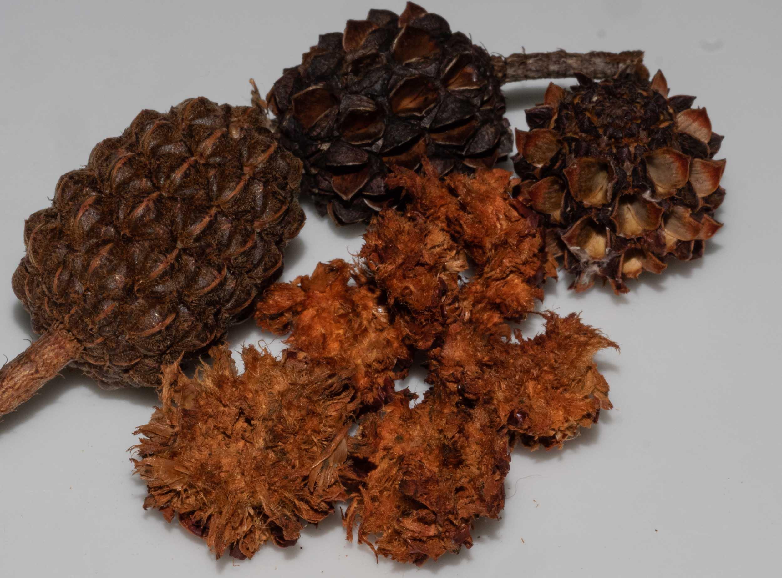 Allocasuarina fruit