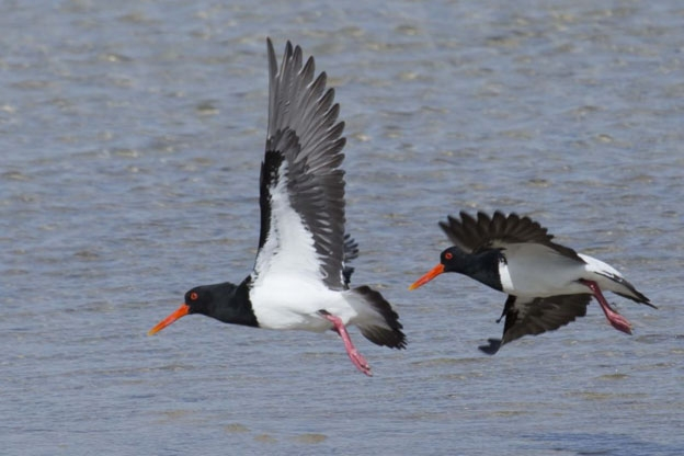 OCTOBER:pied oystercatcher -