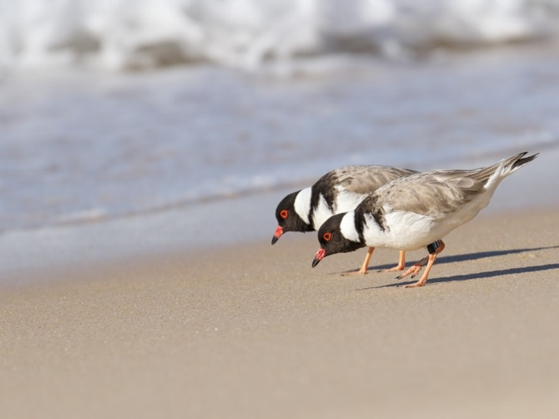 Hooded Plover ( Thinornis rubricollis )  Recorded by Leo Berzins at Haycock Point