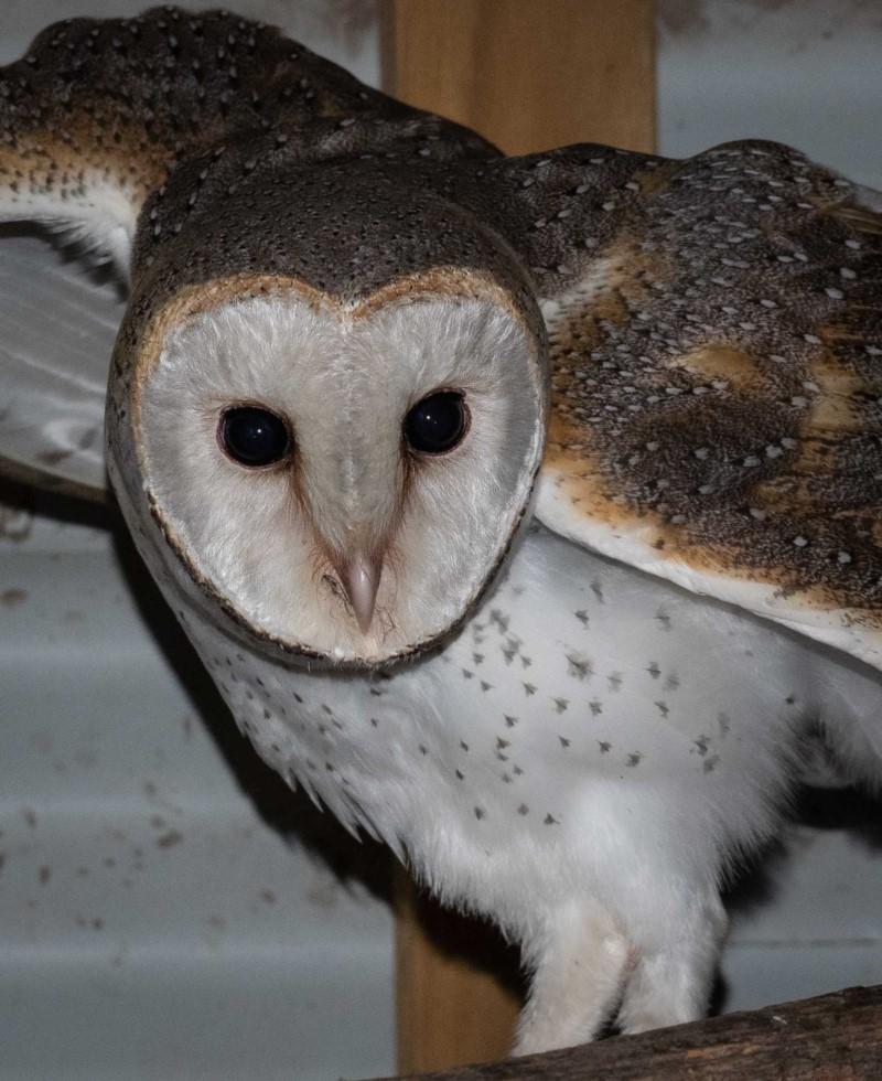 Barn Owl ( Tyto alba )  Recorded by Kerri-Lee Harris in Wonboyn