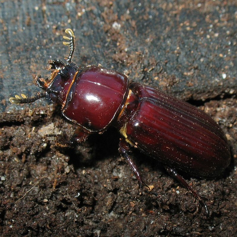 Passalid beetle ( Aulacocyclus sp. )  Recorded by Jackie Miles in Brogo