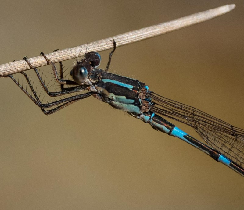 Iota Ringtail ( Austrolestes io )  Recorded by Kerri-Lee Harris in Nadgee Nature Reserve