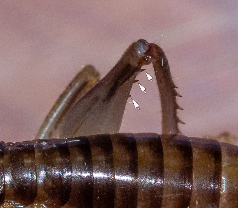 Figure 7: teeth toward apical end of hind femur (arrows)