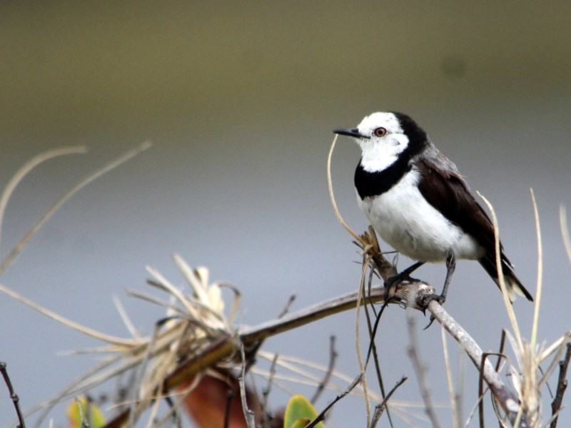 White-fronted Chat  is Vulnerable in NSW. Photo: Michael McMaster,   NatureMapr    record Jan 2017