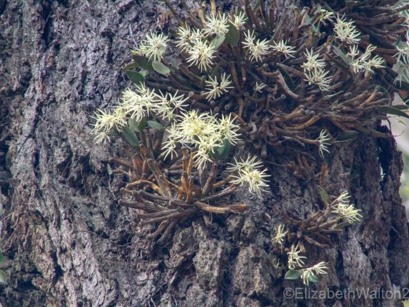 Dendrobium aemulum   Reported by Elizabeth Walton, Bodalla State Forest