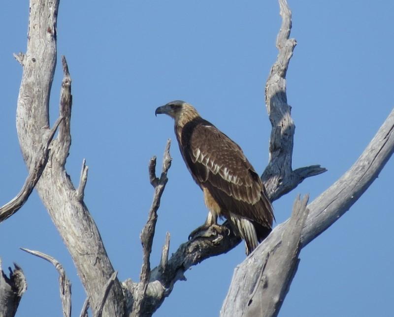 White-bellied Sea-eagle Recorded by Liz Allen, Bournda