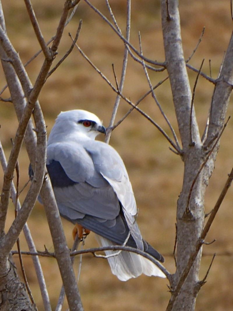 Black-shouldered Kite  Recorded by Max Campbell, Coopers Gully (near Bega)
