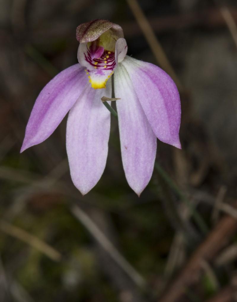 Caladenia carnea  (Pink Fingers)  Recorded by Derek C, Murramarang National Park