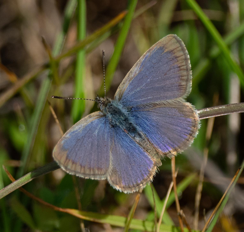 Common Grass-blue (LYCAENIDAE)