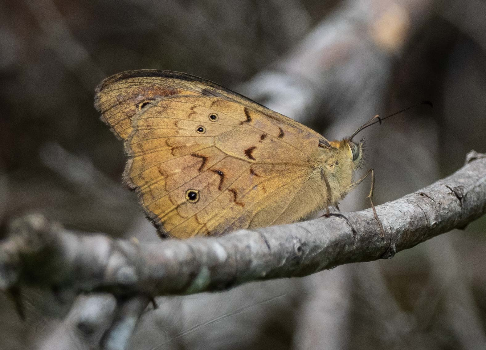 Common Brown (NYMPHALIDAE)