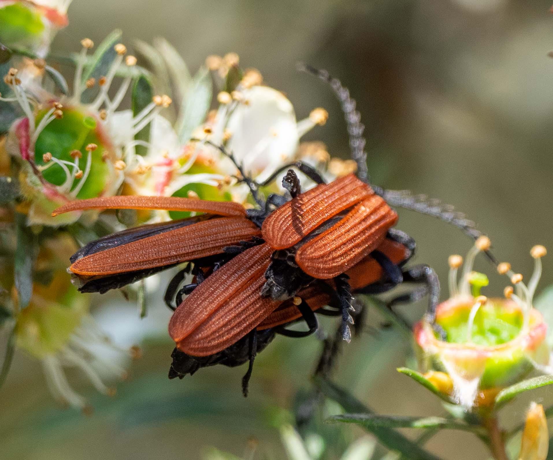 Net-winged Beetle (Porrostoma rhipidium)