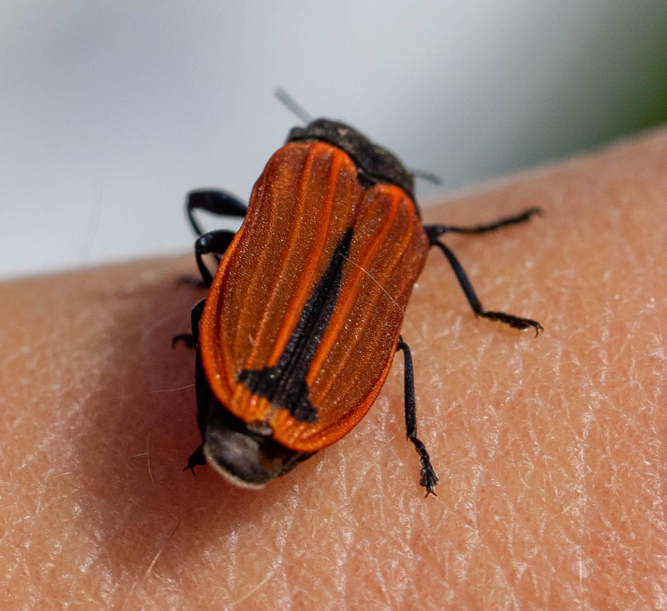 Jewel Beetle (Castiarina erythroptera)