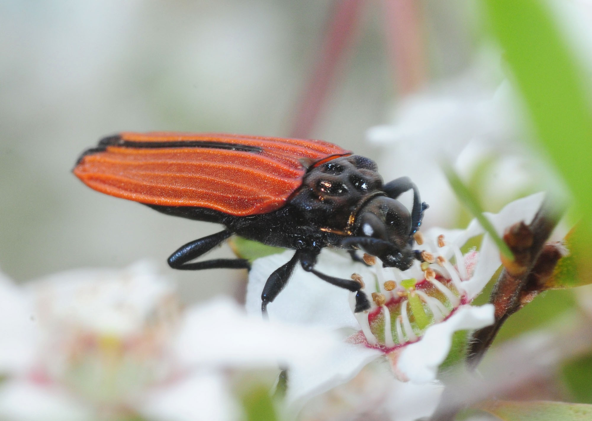Jewel Beetle ( Castiarina nasata) -  note the longer legs and the dimpled 'shoulders' (pronotum) Photo: Stuart Harris