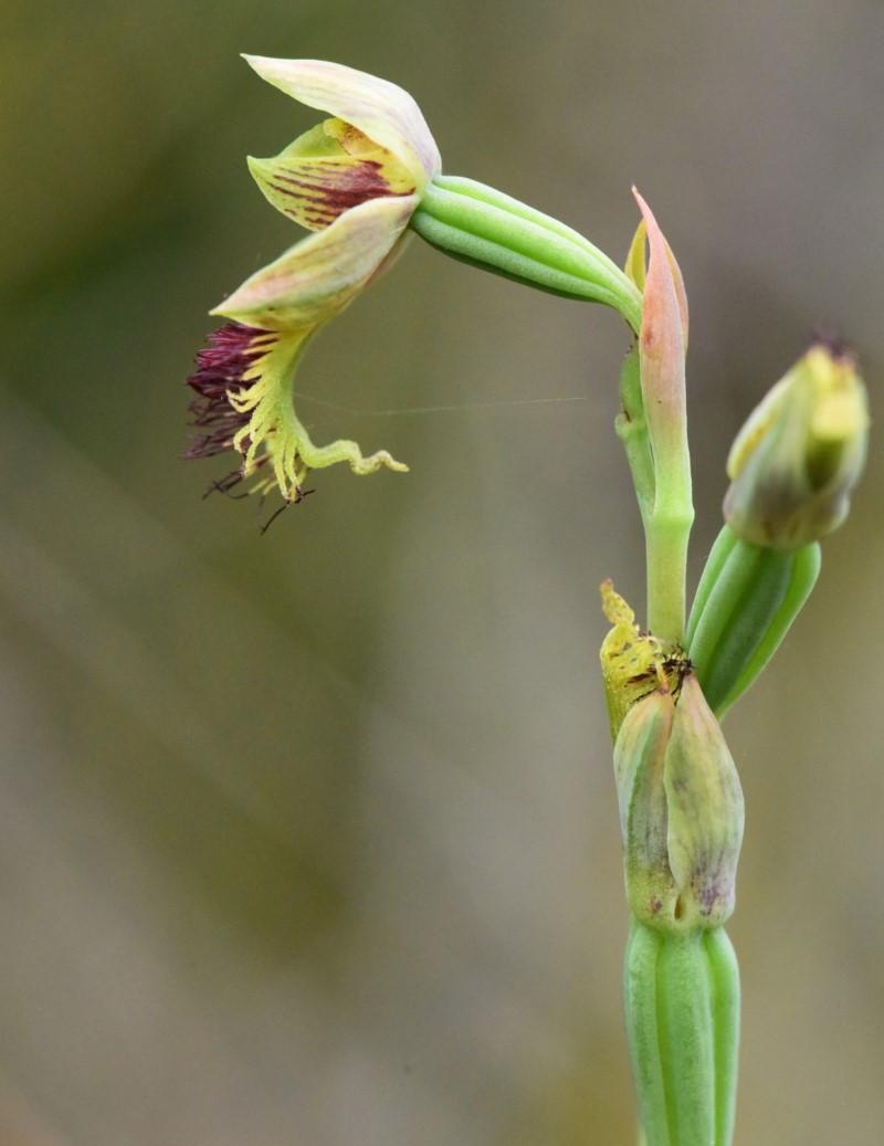 Copper Beard Orchid