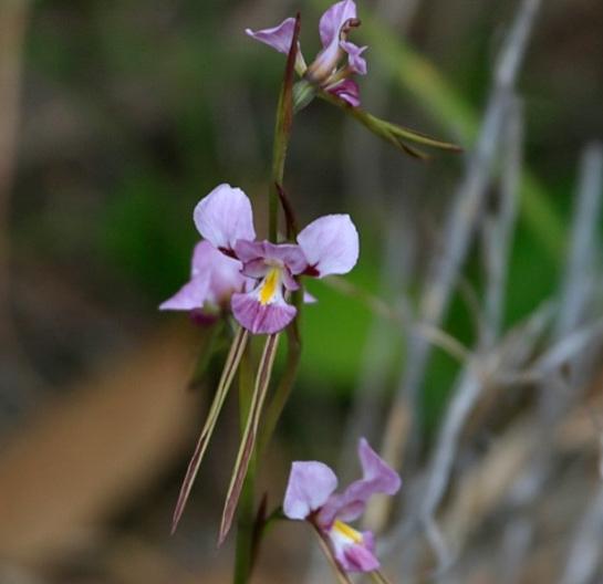 Purple Donkey Orchid